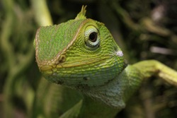 reptile , bronchocela jubata, forest lizard, agamid lizard, macro photography