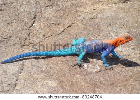 Reptile called the Red-headed Agama Lizard, Agama agama, a blue, red and orange lizard known as one of the most colorful and attractive lizards in the world