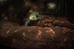 reptile green blue on branch aquarium pet zoo home cute lizard head tongue eyes look walk exotic rare species dark brown yellow