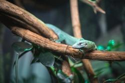 reptile green blue on branch aquarium pet zoo home cute lizard head tongue eyes look walk exotic rare species