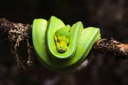 reptile green blue on branch aquarium pet zoo home snake posion small head tongue eyes look walk exotic species