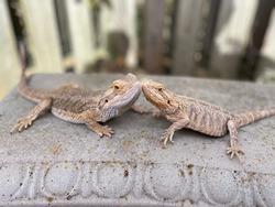 Reptile love (bearded dragons on concrete bench)