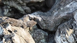 reptile on an old wood, gray color, rough texture, prominent brown eyes, four legs with five toes on each foot, lake ivars and vila sana, lerida, spain, europe