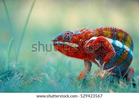 reptile, reptiles, chameleon, macro, animal, animals, indonesia