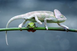 reptile, reptiles, chameleon, macro, animal, animals, indonesia, chameleon veiled, chameleon with frog, dumpy frog, tree frog, frog,