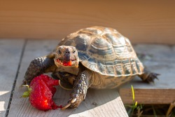 Reptile, Russian tortoise eating strawberry in captivity. Keeping exotic pet animal at home