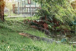 reptile that lives in a pond of park.