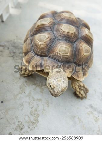 reptile turtle, desert animal, slow speed,