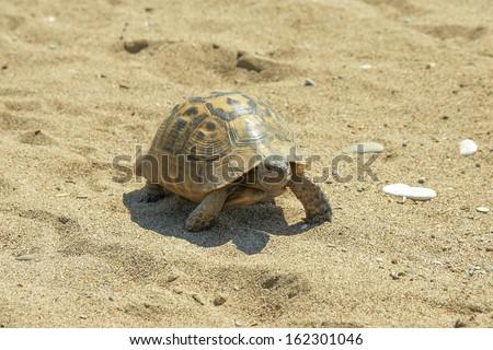 reptile turtle desert animal slow speed sea sand