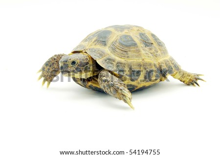 Reptile turtle isolated on white
