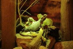 Reptile under an infrared heat lamp. A beautiful rare animal. Aquarium for amphibians, imitation of natural conditions.