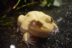 reptiles. cute reptiles. lizard. frog. snake with feet albino frog. red eyed frog