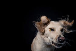 Rescue Dog try to catch treats in the studio. Half Breed Dog make funny Face while catching food. Mixed breed Dog Portrait in studio with black background and flashlight