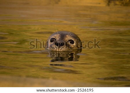 Rescued Harbour Seal (Phoca Vitulina) pup with head above water