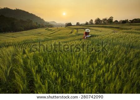 Research & Development the Barley Field at Samoeng Chiang Mai, Thailand