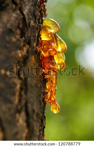 Resin drops  on a tree with sunlight