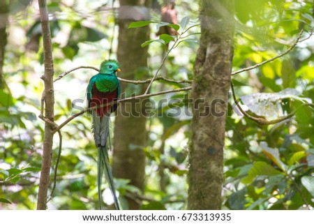 Resplendent Quetzal in Costa Rican Cloud Forest
