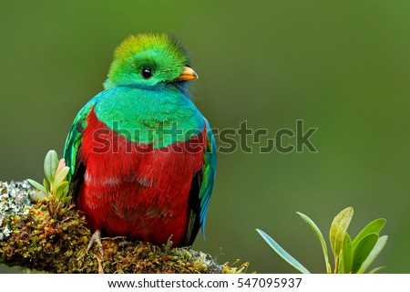 Resplendent Quetzal, Pharomachrus mocinno, from Savegre in Costa Rica with blurred green forest in background. Magnificent sacred green and red bird.