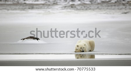 Rest of a polar bear. A polar bear having a rest on ice at water.