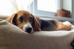 Resting beagle dog on the couch. Beggingly looks at the owner. Pets.
