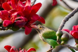 Resting brown headed barbet after sipping sweet nectar