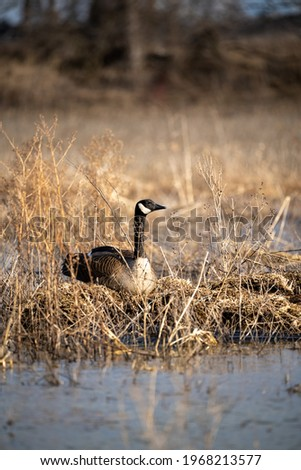 resting Canads Goose near pond Foto stock ©