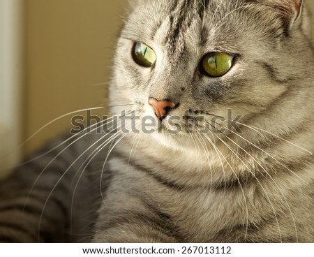 Resting cat, Cat portrait close up, only head crop, looking curious, cat in light background and space for advertising and text, cat head