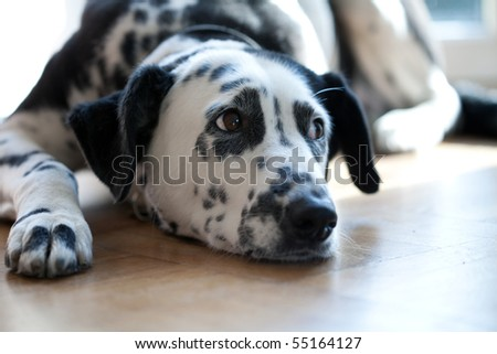 resting dalmatian dog lying in stain of the sun