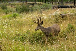 resting deer. deer eat a grass