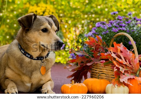 Resting dog,  pumpkins and fall leaves, dog in autumn background, selective focus