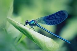 Resting Dragonfly on a leaf