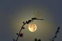 Resting dragonfly with full moon night