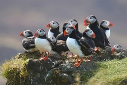 resting group of puffins - Fratercula arctica