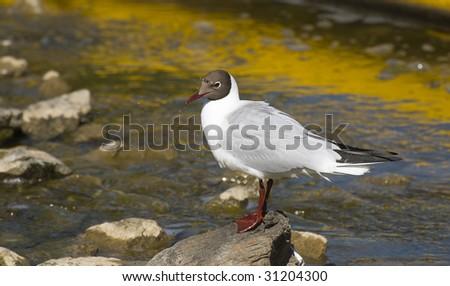 Resting gull - stock photo