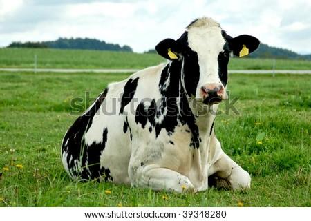 Resting Holstein Cow - stock photo