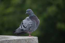 Resting Indian Pigeon OR Rock Dove - The rock dove, rock pigeon, or common pigeon is a member of the bird family Columbidae. In common usage, this bird is often simply referred to as the