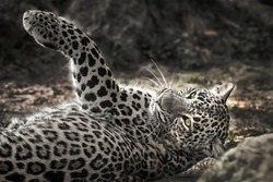 Resting leopard in wilderness