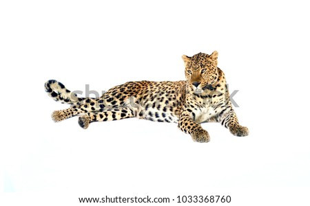 Resting leopard isolated on white background #1033368760