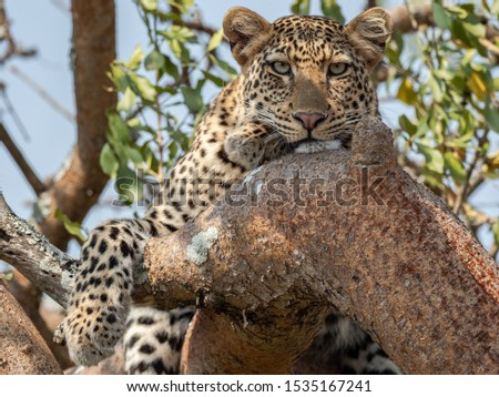 Resting leopard up a tree in Akagera National Park at Magashi camp Wilderness Safaris. #1535167241