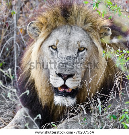 Resting lion in Kruger National Park (South Africa)