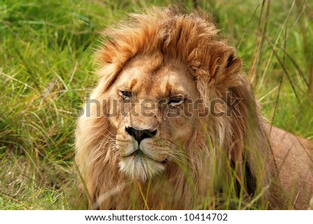 resting lion in savanna(South Africa)