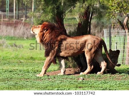 resting lion sniffs the aroma