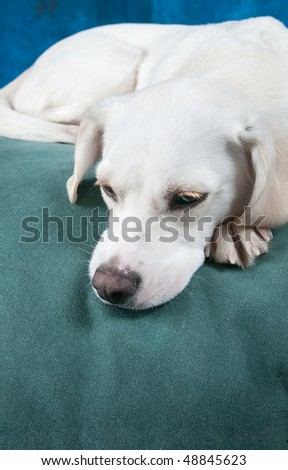 Resting on the bed - Closeup of white labrador mix puppy on green bed with blue background - copy space to bottom