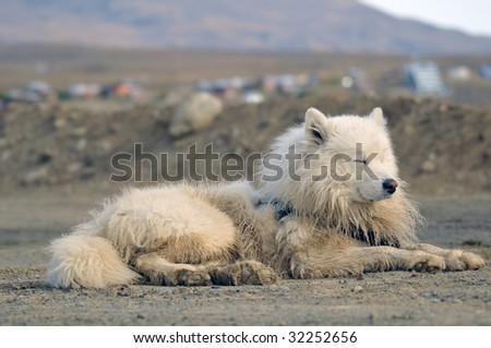 Resting Samoyed