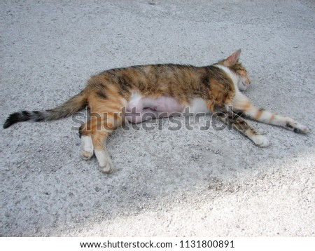 Resting Three-colored Cat after C-section, Caesarean Section #1131800891