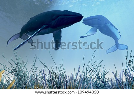 Resting Whales - Two Humpback whales rest and sleep over a reef in shallow ocean waters.