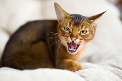 restless animal. An Abyssinian cat hisses at the camera, exposing and showing fangs. The animal is embittered
