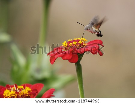 restless moth feeding from a flower while flying