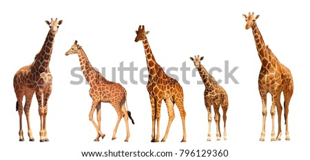 Reticulated Giraffe family, mothers and young, isolated on white background #796129360