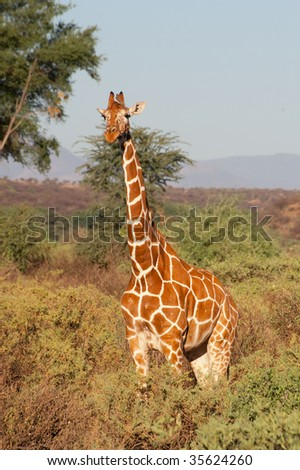 Reticulated Giraffe from Samburu National Park, in Kenya